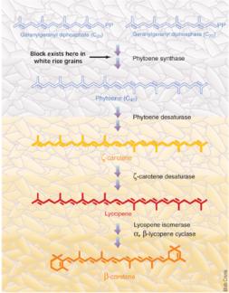 Via de síntesi del β-carotè per part de les plantes. De Grusak, 2005.